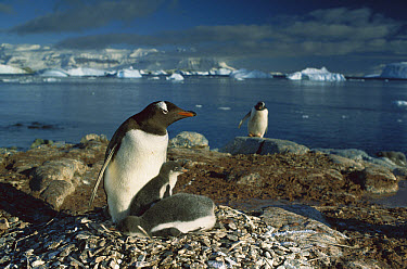 Gentoo Penguin (Pygoscelis papua) parent warming chicks in nest, Antarctica Peninsula, Antarctica  -  Gerry Ellis