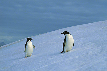 Adelie Penguin (Pygoscelis adeliae) pair on snowfield, Antarctic Peninsula, Antarctica  -  Gerry Ellis