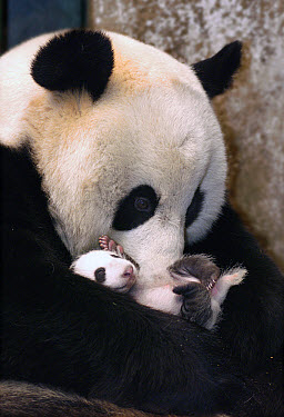 Giant Panda (Ailuropoda melanoleuca) mother and two week old infant, Wolong Nature Reserve, China  -  Katherine Feng