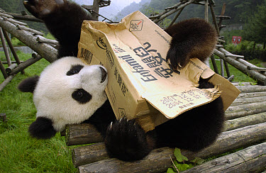 Giant Panda (Ailuropoda melanoleuca) playing with cardboard box, Wolong Nature Reserve, China  -  Katherine Feng