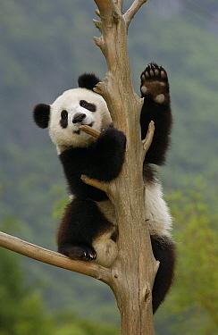 Giant Panda (Ailuropoda melanoleuca) cub climbing tree, Wolong Nature Reserve, China  -  Katherine Feng
