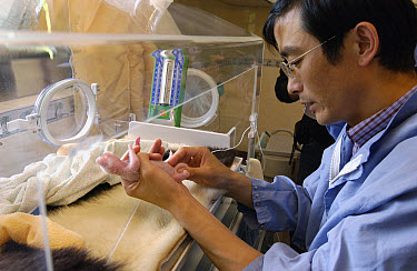 Giant Panda (Ailuropoda melanoleuca) infant held by Zhang Guiquan, Deputy Director at the China Conservation and Research Center for the Giant Panda, Wolong Nature Reserve, China  -  Katherine Feng