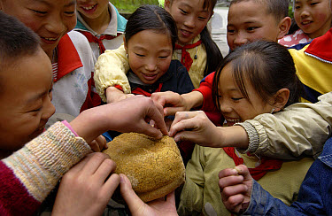 Children visiting the China Conservation and Research Center for the Giant Panda inspect panda bread made from bamboo, grains, rice and vitamins, Wolong Nature Reserve, China  -  Gerry Ellis