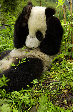 Giant Panda (Ailuropoda melanoleuca) young Panda laying in grass with paws over its head, at the China Conservation and Research Center for the Giant Panda, Wolong Nature Reserve, China  -  Gerry Ellis/ Globio