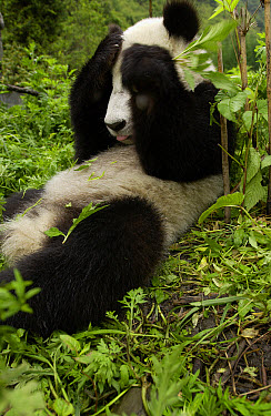 Giant Panda (Ailuropoda melanoleuca) young Panda laying in grass with paws over its eyes, at the China Conservation and Research Center for the Giant Panda, Wolong Nature Reserve, China  -  Katherine Feng