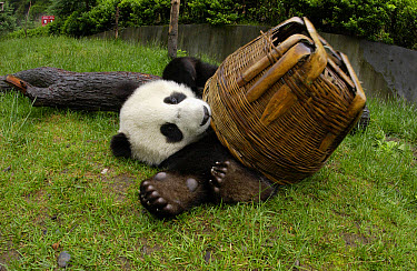 Giant Panda (Ailuropoda melanoleuca) young Panda playing with basket, at the China Conservation and Research Center for the Giant Panda, Wolong Nature Reserve, China  -  Katherine Feng