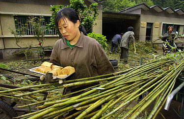 Worker at the China Conservation and Research Center for the Giant Panda carrying panda bread made from bamboo, grains, rice and vitamins, Wolong Nature Reserve, China  -  Gerry Ellis