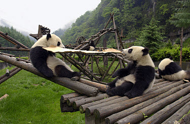 Giant Panda (Ailuropoda melanoleuca) pair of young Pandas playing with cardboard box at the China Conservation and Research Center for the Giant Panda, Wolong Nature Reserve, China  -  Katherine Feng