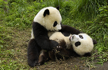 Giant Panda (Ailuropoda melanoleuca) two cubs playing at the China Conservation and Research Center for the Giant Panda, Wolong Nature Reserve, China  -  Katherine Feng