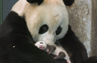 Giant Panda (Ailuropoda melanoleuca) mother and her cub at the China Conservation and Research Center for the Giant Panda, Wolong Nature Reserve, China  -  Katherine Feng