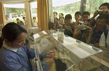 Giant Panda (Ailuropoda melanoleuca) infant being cared for by Hu Hai Ping while tourists watch through window at the China Conservation and Research Center for the Giant Panda, Wolong Nature Reserve,...  -  Katherine Feng