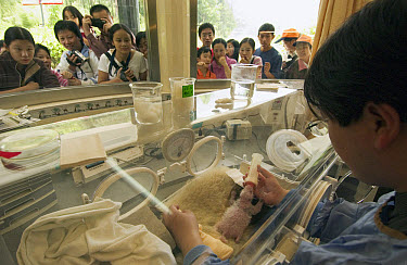 Giant Panda (Ailuropoda melanoleuca) nine day old infant being bottle-fed by Wei Ming while tourists watch through window at the China Conservation and Research Center for the Giant Panda, Wolong Natu...  -  Katherine Feng