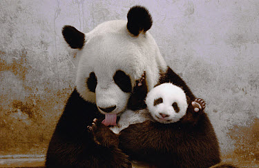 Giant Panda (Ailuropoda melanoleuca) named Gongzhu, captive born and raised, learning parenting skills with toy baby after rejecting her two cubs born in 2003, in 2004 she successfully raised a new cu...  -  Katherine Feng