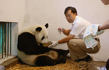 Giant Panda (Ailuropoda melanoleuca) assistant director Wei Rong Ping removing Gongzhu's one day old cub to check his general health, China Conservation and Research Center for the Giant Panda, Wolong...  -  Katherine Feng
