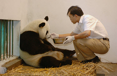 Giant Panda (Ailuropoda melanoleuca) assistant director Wei Rong Ping soothing Gongzhu after removing her one day old cub to check his general health, China Conservation and Research Center for the Gi...  -  Katherine Feng
