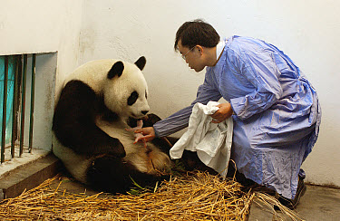Giant Panda (Ailuropoda melanoleuca) assistant director Wei Rong Ping returning Gongzhu's one day old cub after checking his general health, China Conservation and Research Center for the Giant Panda,...  -  Katherine Feng