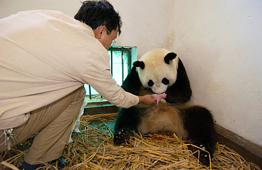 Giant Panda (Ailuropoda melanoleuca) assistant director Wei Rong Ping returning Gongzhu's two-hour-old cub after checking his general health, China Conservation and Research Center for the Giant Panda...  -  Katherine Feng