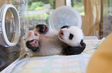 Giant Panda (Ailuropoda melanoleuca) 37 day old cub, Ying Ying, in incubator, Wolong Nature Reserve, endangered, China  -  Katherine Feng