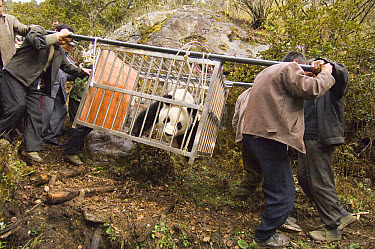 Giant Panda (Ailuropoda melanoleuca) carrying Xiang Xiang to release site, first captive-born panda to be released into the wild, Wolong Nature Reserve, endangered, China  -  Katherine Feng