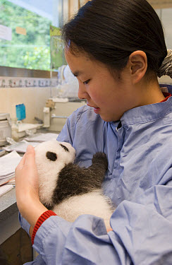 Giant Panda (Ailuropoda melanoleuca) 40 day old cub held by research assistant, Wolong Nature Reserve, endangered, China  -  Katherine Feng