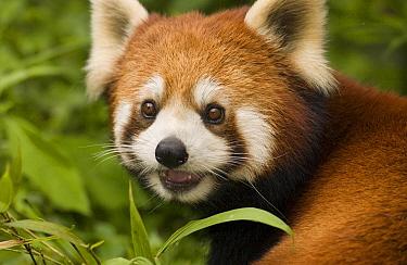 Lesser Panda (Ailurus fulgens) portrait, endangered, Wolong Nature Reserve, China  -  Katherine Feng