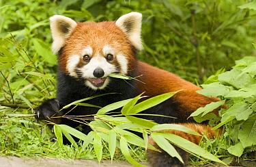 Lesser Panda (Ailurus fulgens) eating bamboo, endangered, Wolong Nature Reserve, China  -  Katherine Feng