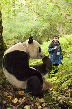 Giant Panda (Ailuropoda melanoleuca) researcher Liu Bing radio tracking Xiang Xiang, the first captive raised panda to be released into the wild, Wolong Nature Reserve, endangered, China  -  Katherine Feng