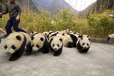 Giant Panda (Ailuropoda melanoleuca) sixteen cubs escape photo attempt, Wolong Nature Reserve, China, sequence 2 of 3  -  Katherine Feng
