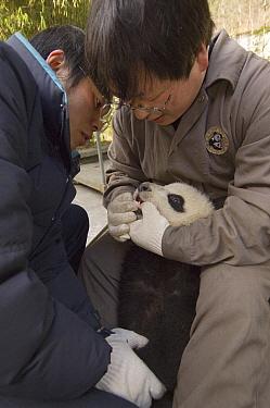 Giant Panda (Ailuropoda melanoleuca) researchers checking cub's teeth, Wolong Nature Reserve, China  -  Katherine Feng