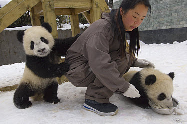 Giant Panda (Ailuropoda melanoleuca) researcher with two cubs at feeding time, Wolong Nature Reserve, China  -  Katherine Feng