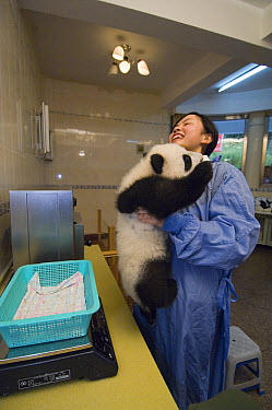 Giant Panda (Ailuropoda melanoleuca) researcher trying to weigh wiggly cub in nursery, Wolong Nature Reserve, China  -  Katherine Feng