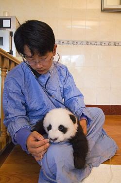 Giant Panda (Ailuropoda melanoleuca) researcher taking temperature of sick cub, Wolong Nature Reserve, China  -  Katherine Feng