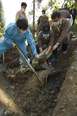 Giant Panda (Ailuropoda melanoleuca) recovery effort, veterinarian, Wang Chengdog, and other workers collecting Mao Mao's body after the May 12, 2008 earthquake and landslides, CCRCGP, Wolong, China  -  Katherine Feng