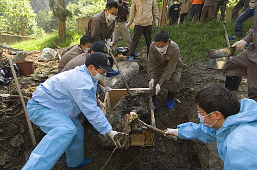 Giant Panda (Ailuropoda melanoleuca) recovery effort, workers collecting Mao Mao's body after the May 12, 2008 earthquake and landslides, CCRCGP, Wolong, China  -  Katherine Feng
