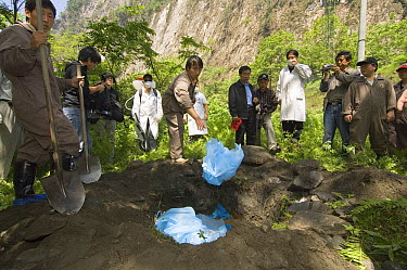 Giant Panda (Ailuropoda melanoleuca) grave is filled with contaminated clothing before being covered, May 12, 2008 earthquake and landslides, CCRCGP, Wolong, China  -  Katherine Feng