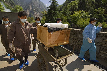 Giant Panda (Ailuropoda melanoleuca) recovery effort, Mao Mao's coffin being taken to gravesite after May 12, 2008 earthquake and landslides, CCRCGP, Wolong, China  -  Katherine Feng