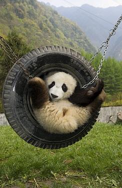 Giant Panda (Ailuropoda melanoleuca) cub playing in tire swing, Wolong Nature Reserve, China  -  Katherine Feng