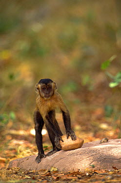 Brown Capuchin (Cebus apella) preparing to lift a rock hammer that is extremely heavy compared to the monkey's body weight to crack open a palm nut it has placed in a small pit in the anvil rock surfa...  -  Pete Oxford