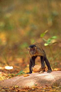 Brown Capuchin (Cebus apella) preparing to lift a rock hammer that is extremely heavy compared to the monkey's body weight to crack open palm nuts it has placed in small pits in the anvil rock surface...  -  Pete Oxford