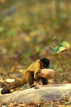 Brown Capuchin (Cebus apella) using rock hammer that is extremely heavy compared to the monkey's body weight to crack open palm nuts placed in small pits in the anvil rock surface, Cerrado habitat, Br...  -  Pete Oxford