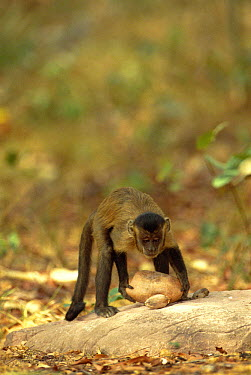 Brown Capuchin (Cebus apella) stabilizes itself with its prehensile tail while using a heavy rock hammer to crack open palm nuts placed in small pits in the anvil rock surface, Cerrado habitat, Brazil  -  Pete Oxford