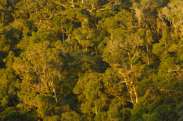 Rainforest canopy of Amber Mountain National Park, Northern Madagascar  -  Pete Oxford