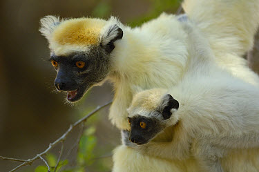 Golden-crowned Sifaka (Propithecus tattersalli) mother with young, critically endangered, Daraina, northeast Madagascar  -  Pete Oxford