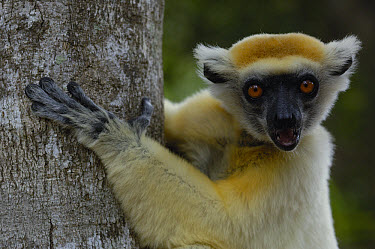 Golden-crowned Sifaka (Propithecus tattersalli) portrait, critically endangered, Daraina, northeast Madagascar  -  Pete Oxford