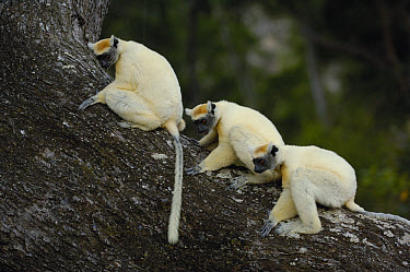 Golden-crowned Sifaka (Propithecus tattersalli) trio, critically endangered, Daraina, northeast Madagascar  -  Pete Oxford