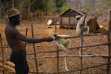 Golden-crowned Sifaka (Propithecus tattersalli) pair being fed by Malagasy man, critically endangered species, Daraina, North East Madagascar  -  Pete Oxford