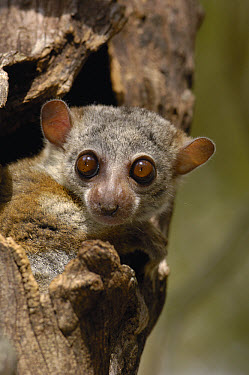 Milne-Edward's Sportive Lemur (Lepilemur edwardsi) peeking out of tree, endemic, Daraina, Madagascar  -  Pete Oxford