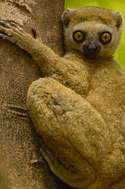 Avahi Lemur (Avahi occidentalis) endemic to western deciduous forest, Ankarafantsika Strict Nature Reserve, Madagascar  -  Pete Oxford