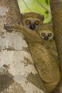 Avahi Lemur (Avahi occidentalis) mother with infant, vulnerable, endemic to western deciduous forest, Ankarafantsika Strict Nature Reserve, Madagascar  -  Pete Oxford
