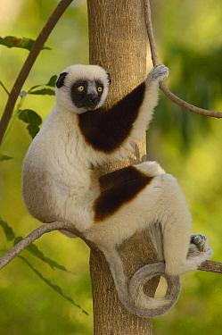 Coquerel's Sifaka (Propithecus coquereli) in western deciduous forest, Ankarafantsika Strict Nature Reserve, Madagascar  -  Pete Oxford